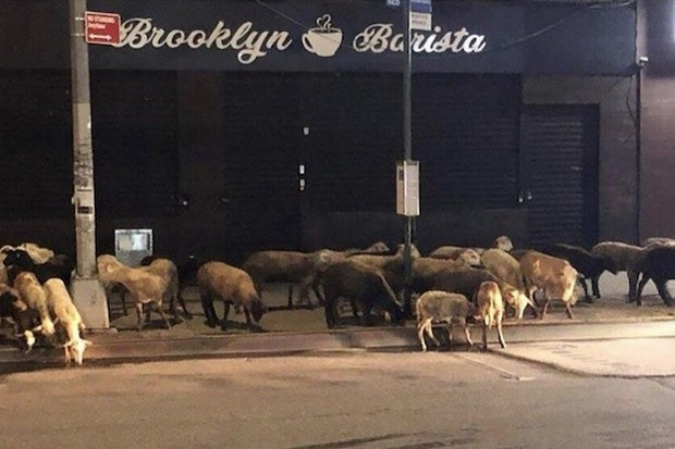 Loose Goats Had A Brief Taste of Freedom On Wyckoff Avenue — News on Bushwick Daily