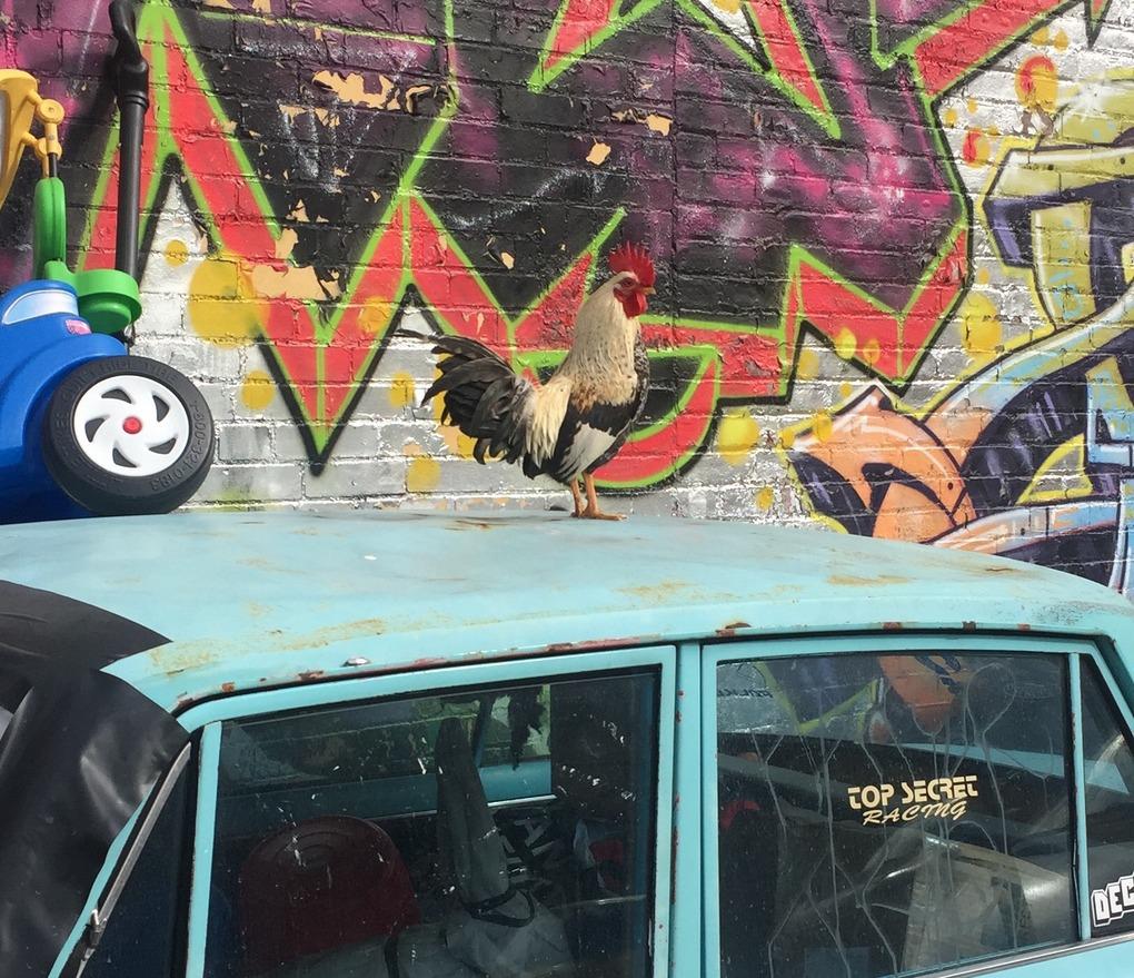 Meet Rocky, the Friendliest Rooster in Bushwick — Community on Bushwick Daily
