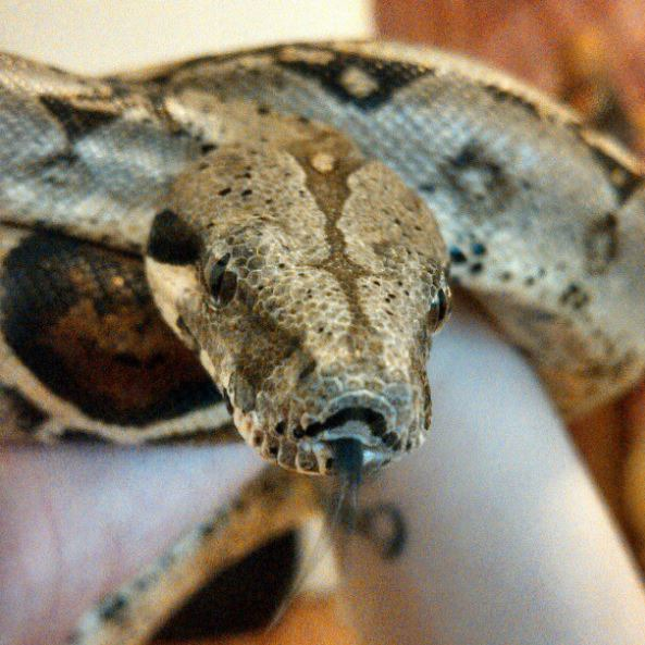 """Generally Lazy But Inquisitive:"" Bushwick Resident Shows Off Her Pet Snake, Brutus — Pets on Bushwick Daily"