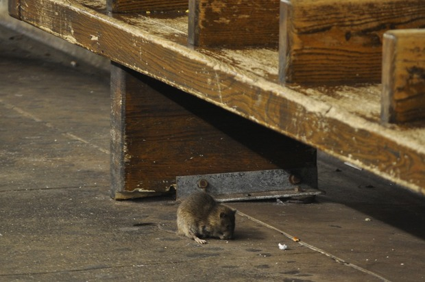 Brooklyn Is the most Rat-Infested Borough, Locals Blame Construction and Gentrification  — News on Bushwick Daily