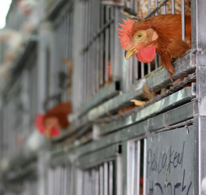I Bought a Chicken from One of Bushwick's Live Poultry Places — Food and Drink on Bushwick Daily