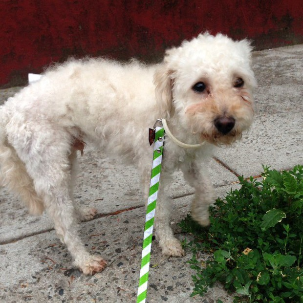 A Cute Doggie Found at Bushwick/Ridgewood Border. Is It Yours? [Update: Doggie's Owners Found!] — Pets on Bushwick Daily