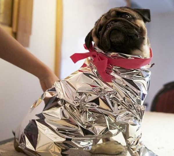 Meet Mochi, the Bushwick Pug, of Instagram Fame — Arts & Culture on Bushwick Daily