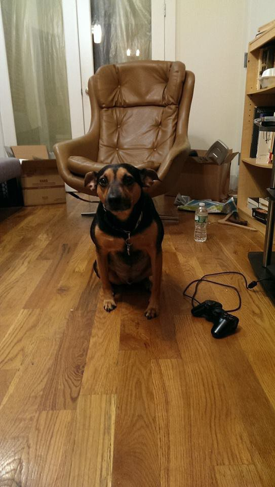 Corey, the Bed-Stuy Pooch Found a Home! — Pets on Bushwick Daily