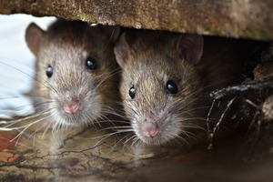 Rats: How to Get Rid of Bushwick's Greatest Nemesis