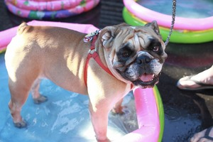 Bushwick Bark's Fifth Annual Fundraiser Returns with a Doggy Pool Party