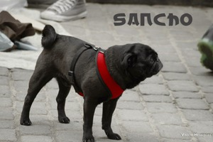 Silky's Sancho, the Pug Hit By Car and Needs Your Support