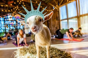 A Goat Yoga Pop-Up Is Coming to Bushwick in April