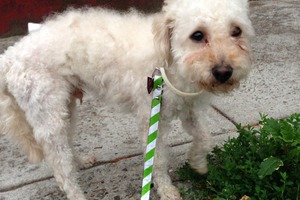 A Cute Doggie Found at Bushwick/Ridgewood Border. Is It Yours? [Update: Doggie's Owners Found!]