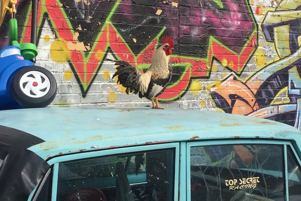 Meet Rocky, the Friendliest Rooster in Bushwick