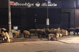 Loose Goats Had A Brief Taste of Freedom On Wyckoff Avenue