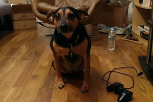 Bed-Stuy Pooch Needs a Home