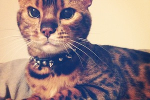 Pet of the Week: Bushwick's Very Own Prince is a Liger