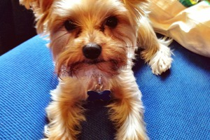 Bushwick Pet of the Week: Milo, the Sour-Patch Dog