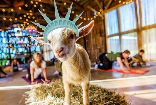 Goat Yoga Is Illegal and Isn't Coming to Bushwick Anymore