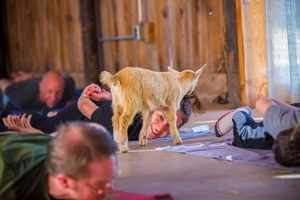 Bushwick Daily Isn't Invited to Goat Yoga, but You Still Are