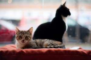 Bushwick's Pet Superette Offers Adorable Cats and Kittens for Adoptions
